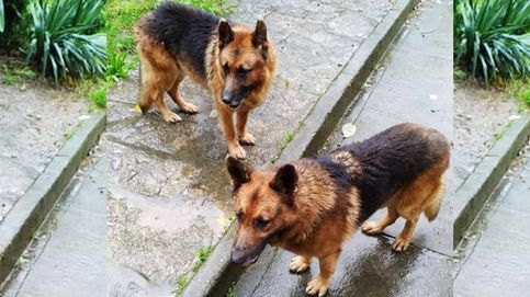 Buscan un hogar en A Coruña para dos perros cuyo dueño se muere de cáncer