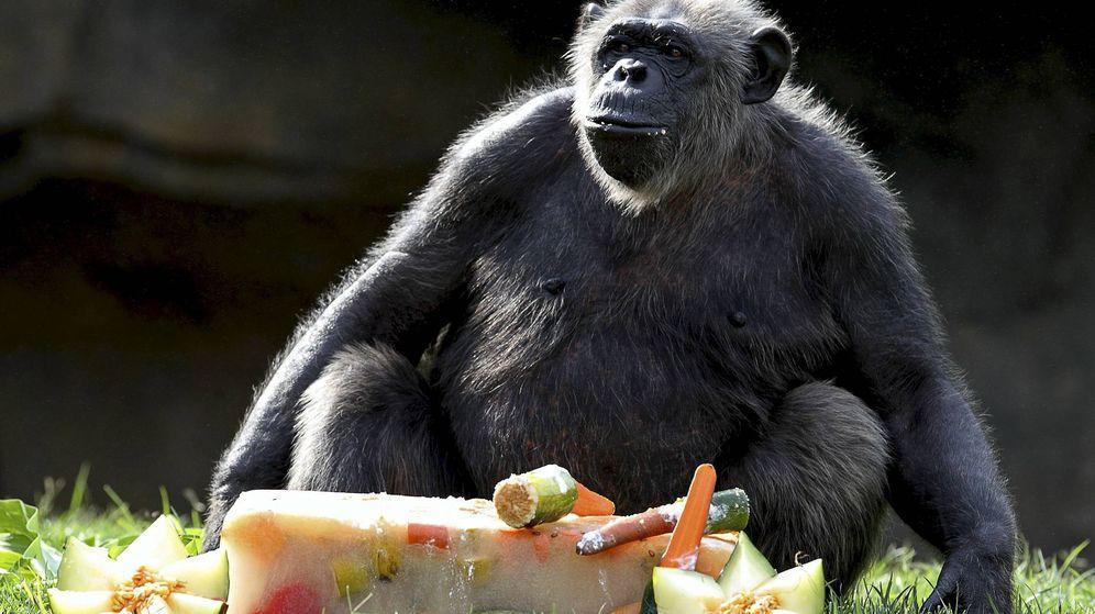 Foto: Un chimpancé, a punto de darse un festín gastronómico (EFE/Manuel Bruque)