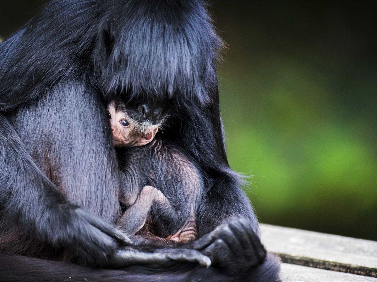 Foto: Una madre primate junto a su cría. (EFE)
