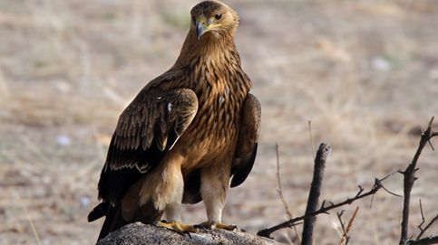 Tras la espectacular águila imperial ibérica: el gran depredador alado