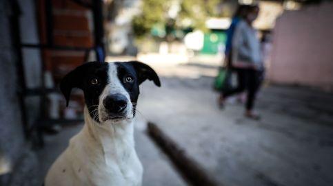Los perros chilenos que se preparan para detectar el coronavirus