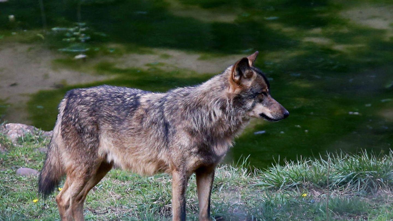 Algunos ecologistas apuestan por introducir lobos ibéricos en los montes del interior de Valencia para controlar la superpoblación de especies cinegéticas. (EFE)