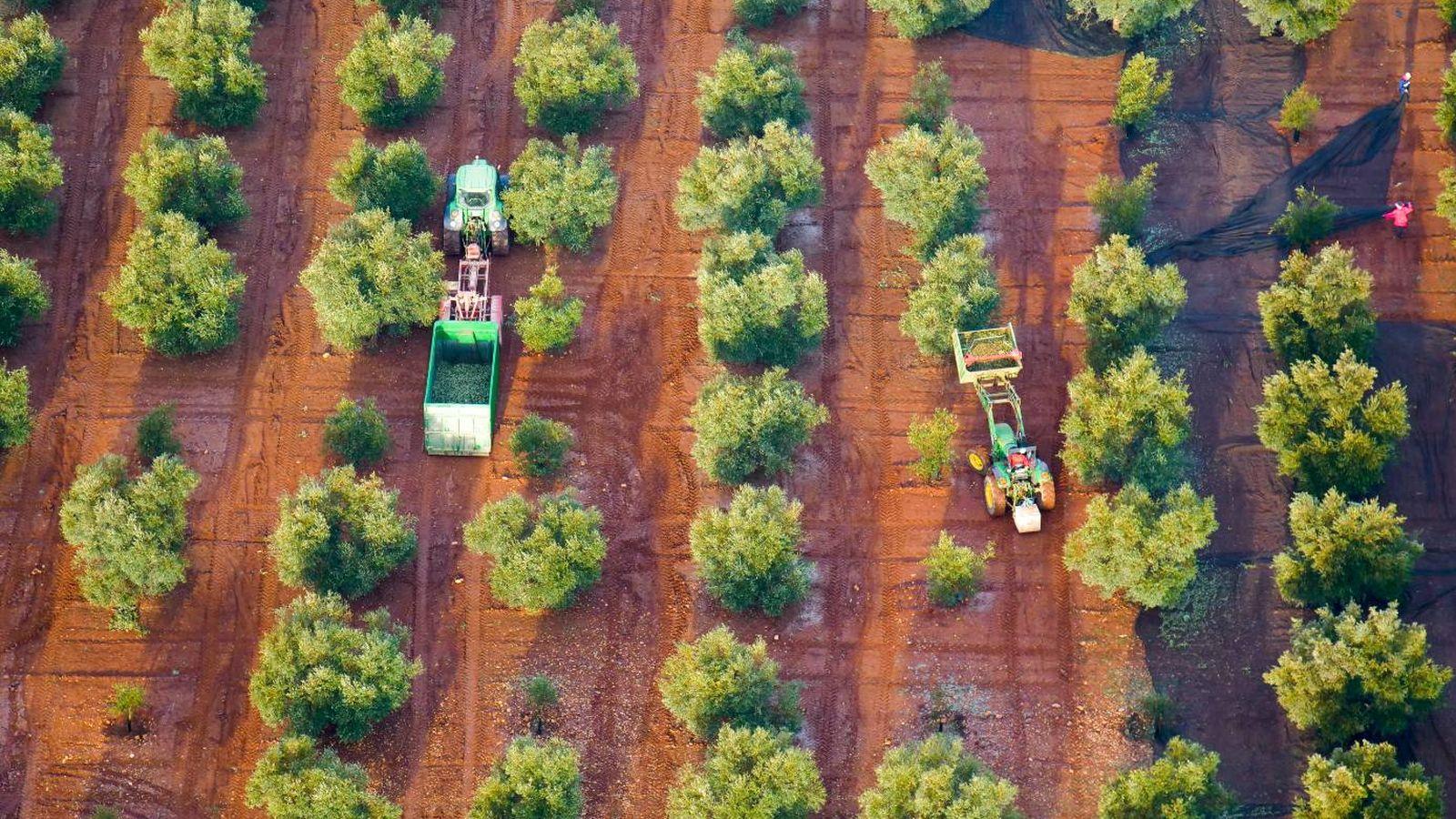 Foto: Vista de los olivos de Antequera desde el aire. (Imagen cedida por la Interprofesional del Aceite de Oliva Español)