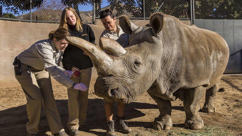 Muere Nola, la última rinoceronte blanco que vivía fuera de África