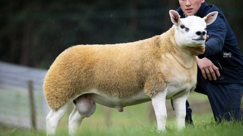 Subastan un carnero casi genéticamente perfecto por 410.000 euros