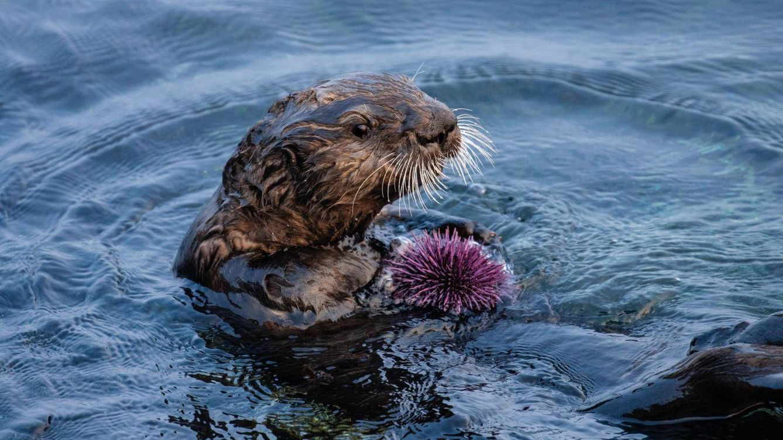 Las nutrias marinas evitan la desaparición total de los bosques de algas de California