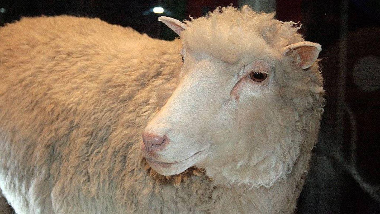 La oveja Dolly. (Wikimedia Commons)