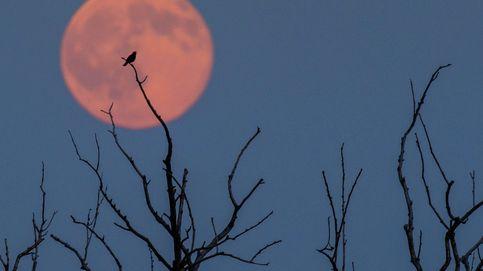 Segundo eclipse lunar del 2020 este viernes: ¿desde dónde se observará la 'Luna de fresa'?