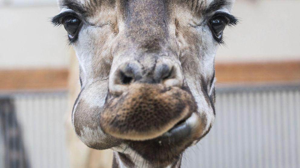 El gran corazón de las jirafas alargó su cuello gracias a un puñado de genes