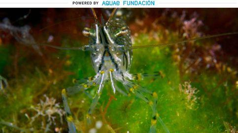 El festival reproductivo del camarón de roca: alberga hasta 2.000 huevos bajo el abdomen