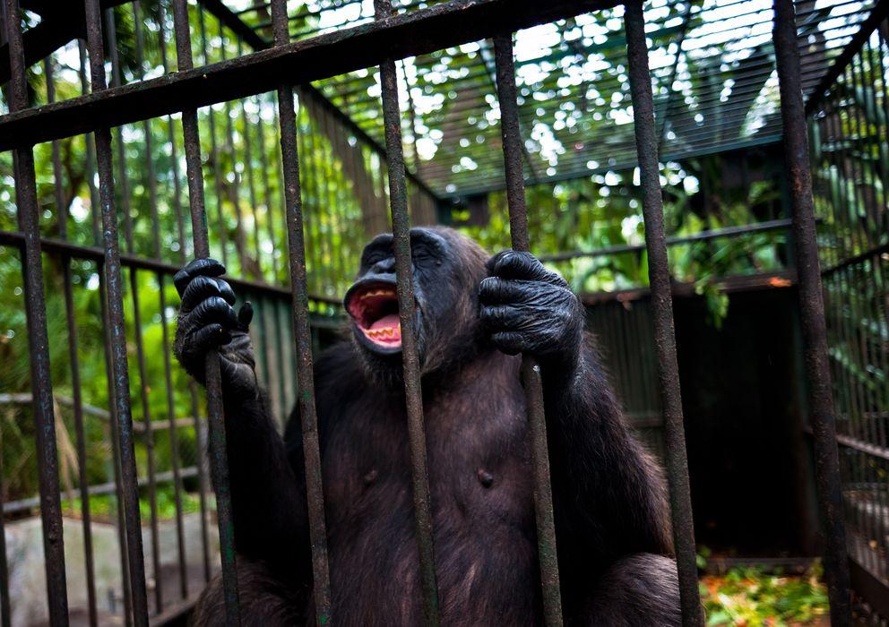 Foto: El reconocimiento de personalidad jurídica a los chimpancés prohibiría su cautiverio y compra-venta. (Corbis)