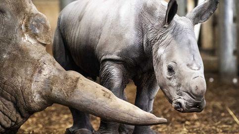 Perros entrenados para atacar a los furtivos logran salvar a 45 rinocerontes
