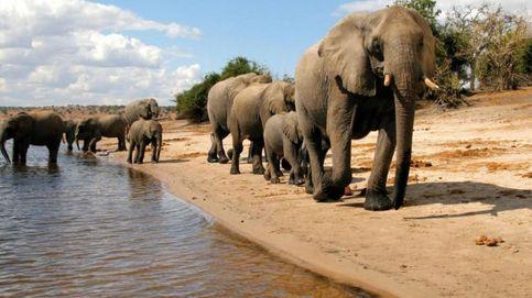 Botsuana sufre la mayor matanza de elefantes de toda la historia