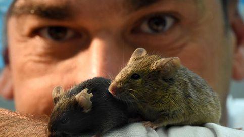 El fin de la diabetes ya es posible: la curan en ratones con un 'páncreas inyectable'