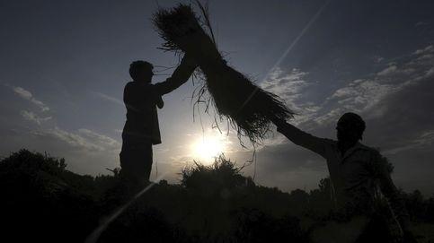 Temporada de recogida de arroz en India