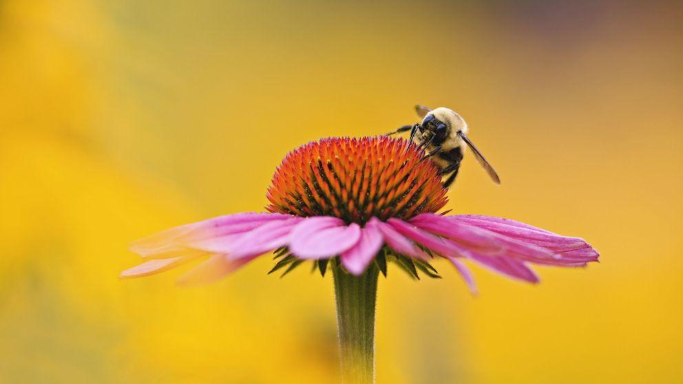 El olor a flores amansa a las abejas: las hace menos agresivas ante amenazas
