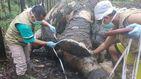 Encuentran a un elefante de Sumatra decapitado y con los colmillos arrancados