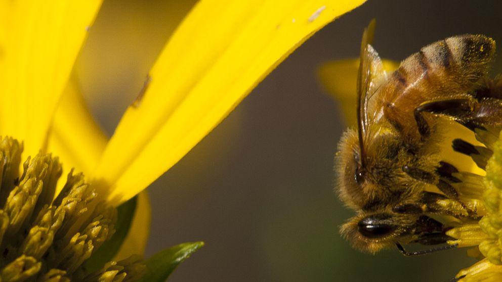 ¿Por qué se están muriendo las abejas?