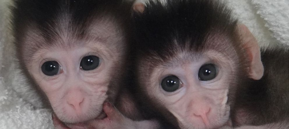 Foto: Las dos monas nacidas en China cuyo genoma fue editado con la técnica CRISPR