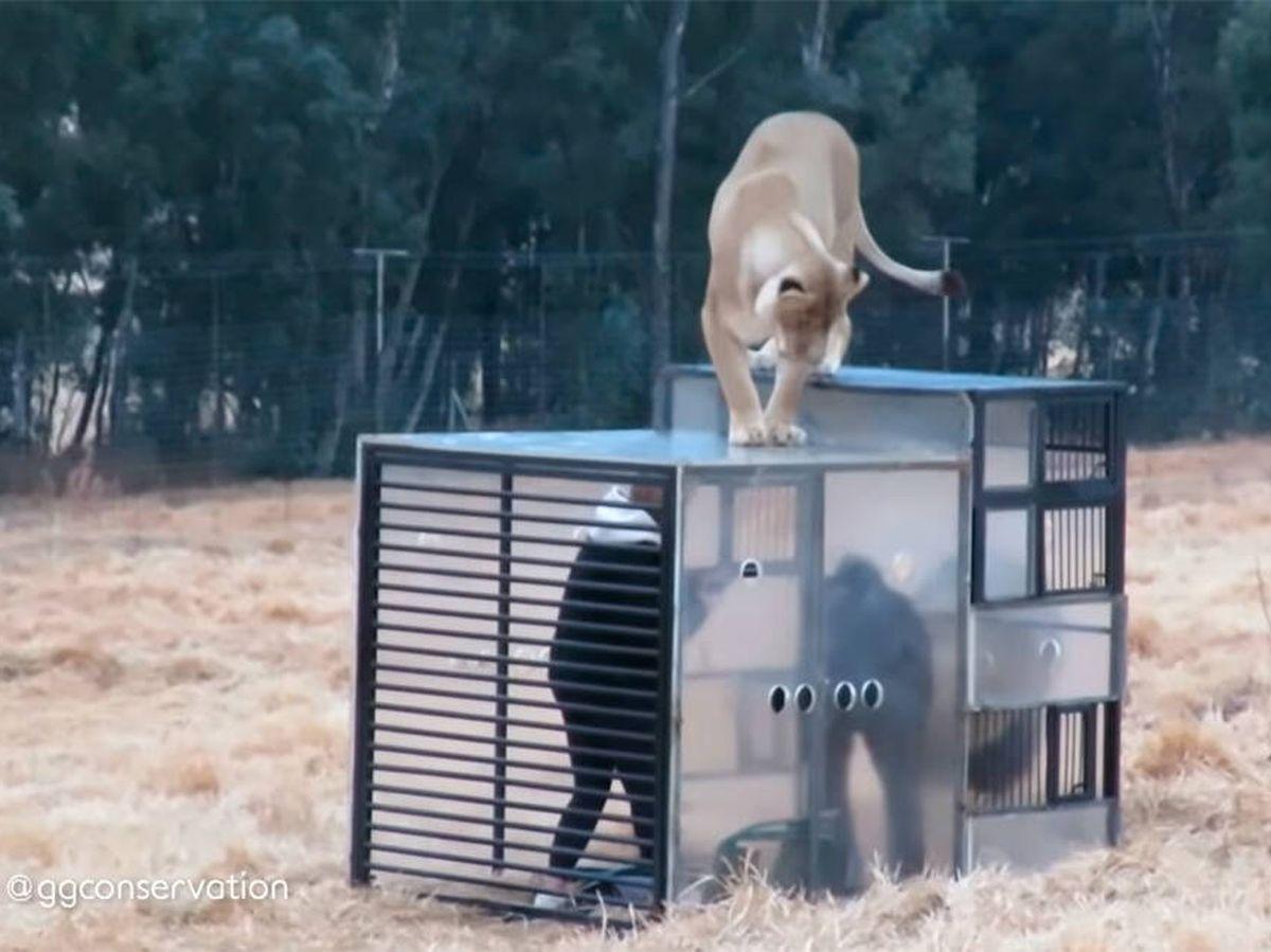 Foto: La experiencia de tener a los leones a pocos centímetros es increíble (YouTube)