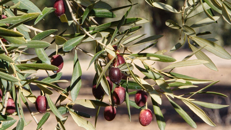 Aceitunas de la variedad picual en Jaen. (Alamy)