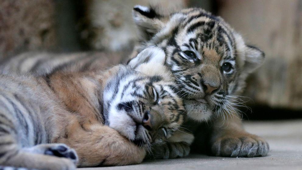 El milagro 'malayo' de Praga: tigres mellizos y en peligro de extinción