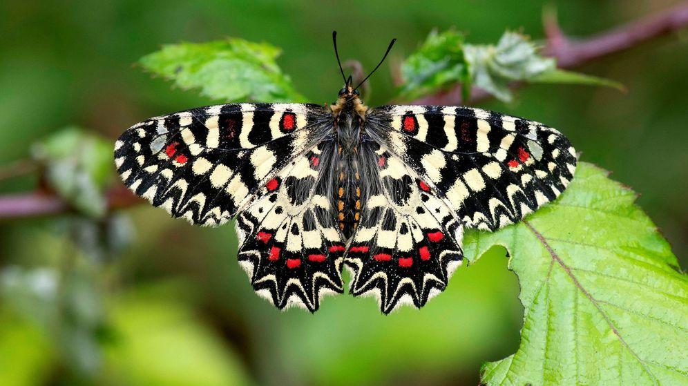 Foto: Mariposa Zerynthia, una de las nuevas especies descubiertas en 2019. (EFE)