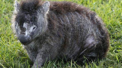 Descubren por qué los adorables wombats hacen heces en forma de cubo