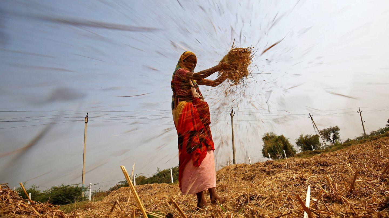 Una mujer aventa arroz en una campo en las afueras de Ahmedabad, India, el 10 de noviembre de 2017. (Reuters)