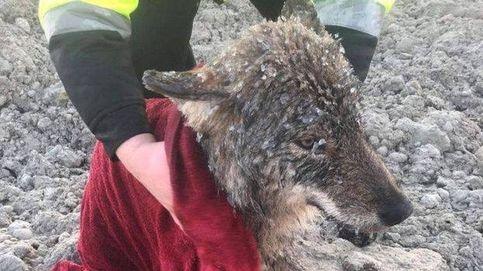 Rescatan a un perro de un río… y en el veterinario descubren que es un lobo