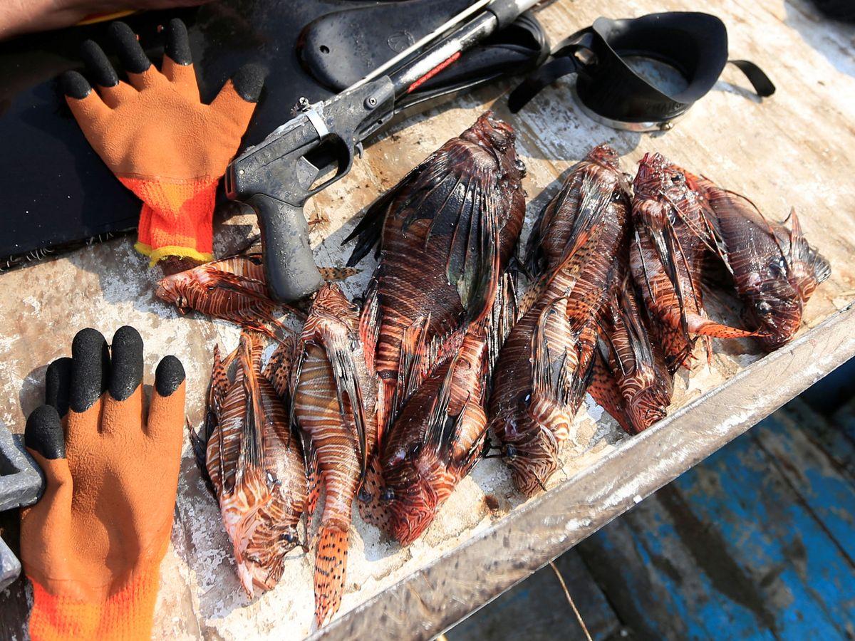 Foto: Peces León recién capturados en las costas de Florida. Reuters