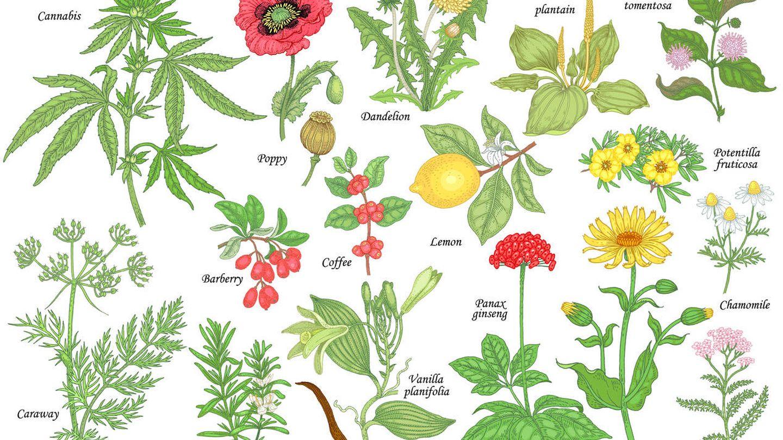 Herbario con plantas con propiedades médicas. Fuente: iStock