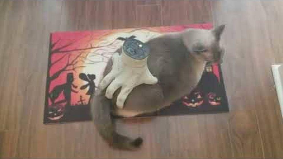 Una mano terrorífica masajea a este gato y él está encantado