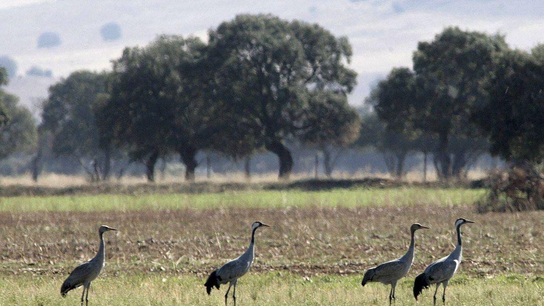 Foto: Grullas y avutardas en el parque nacional de Cabañeros (EFE)