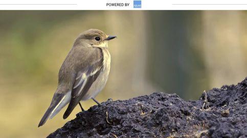 El pequeño pájaro que busca huecos en los árboles para criar