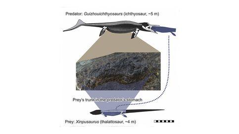 Hallan el fósil de un delfín prehistórico con el esqueleto de un lagarto dentro
