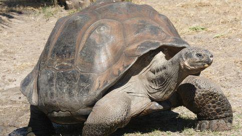 Las tortugas terrestres del Oceanogràfic de Valencia estrenarán casa en marzo