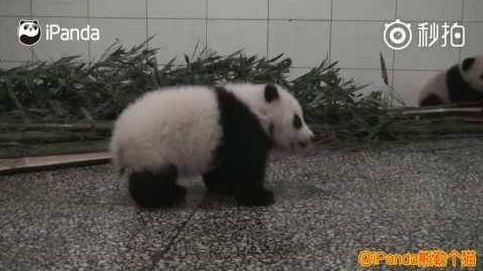El vídeo de una cría de oso panda con hipo arrasa en China