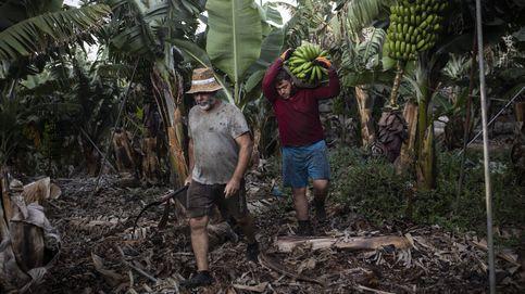 Dentro de una platanera de La Palma: así se intenta salvar la fruta a los pies del volcán
