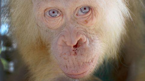 La nueva 'Copito de Nieve' y otros animales albinos