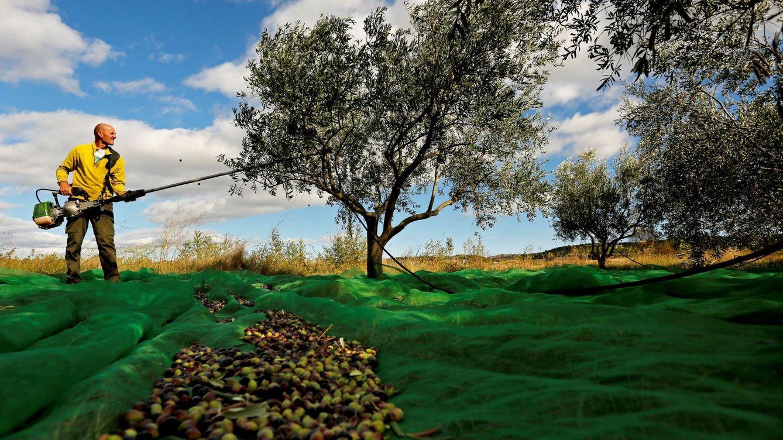 Planas: más aceite ecológico y cosechar antes de cara a la previsible megacampaña