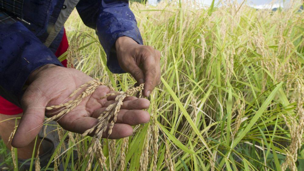 Foto:  Un granjero inspecciona varias plantas de arroz. (EFE)