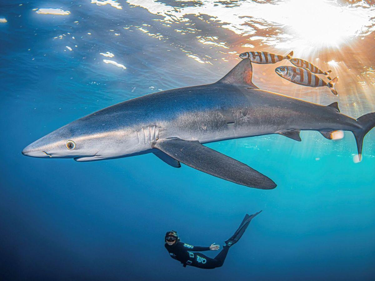 Foto: El tiburón azul o tintorera es una de las especies amenazadas. (EFE)