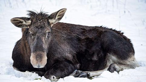 Una manada de lobos persigue a un grupo de alces en el Parque Nacional de Yellowstone (EEUU)