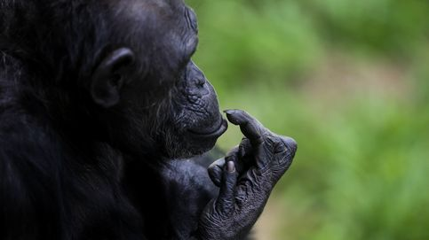 Epidemia en Tacugama: una misteriosa bacteria amenaza a los chimpancés