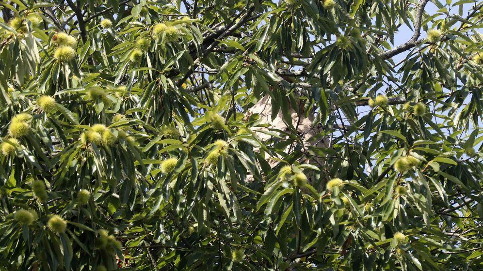 Foto: Los nidos no dejan de crecer y de cada uno de ellos pueden salir más de 200 reinas para crear nuevos nidos (EFE/J.L.Cereijido.)
