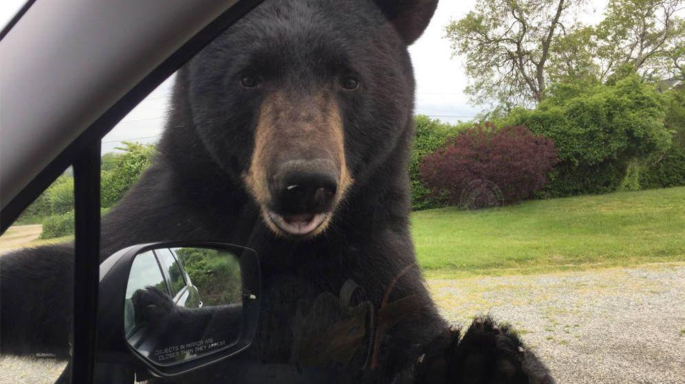 Foto: El oso se colocó de manera amistosa en la ventanilla del conductor (Foto: Control de Animales de Narragansett)