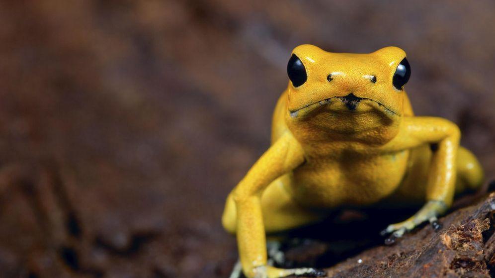 Foto: Esta diminuta rana produce uno de los venenos más letales el mundo. (iStock)