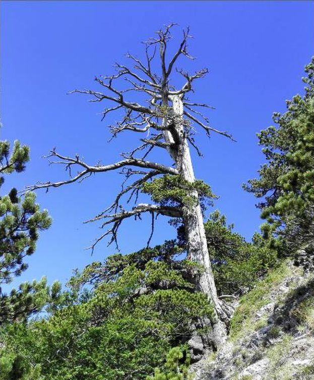 Foto: 'Italus', el árbol más antiguo de Europa. (Gianluca Piovesan)