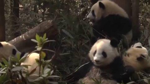 Diez cachorros de panda comienzan una nueva vida sin sus mamás